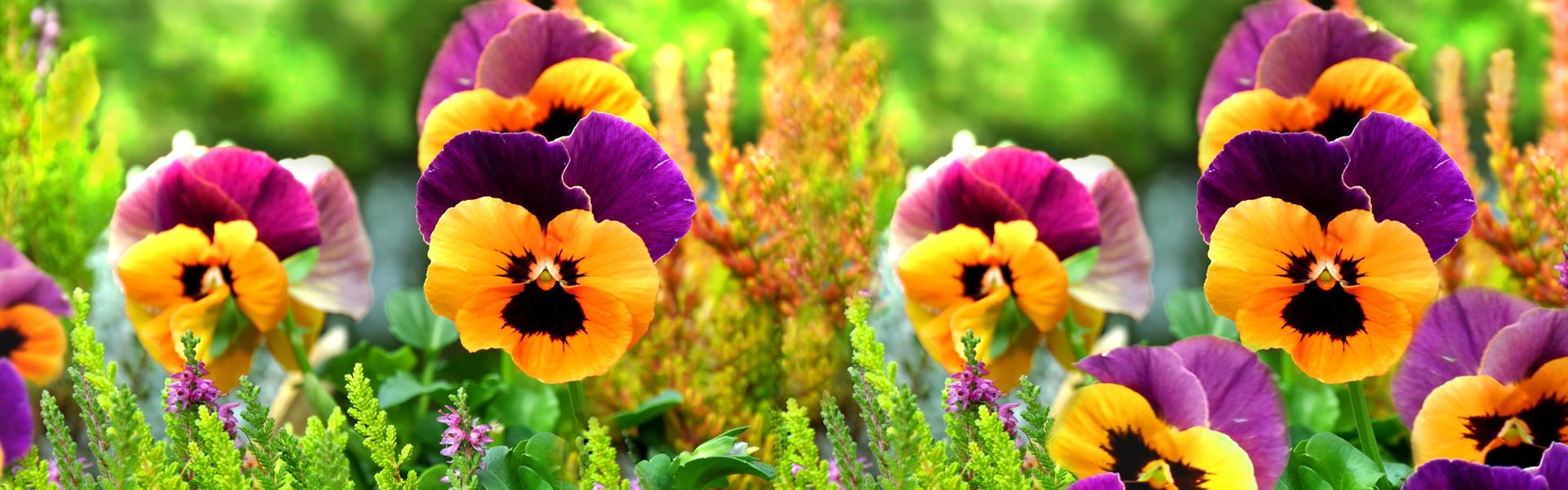 nasiona kwiatów bielsko, cebulki kwiatowe bielsko
